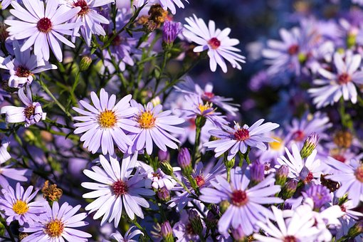 Asters, Flowers, Purple, Autumn, Blossom, Bloom, Plant