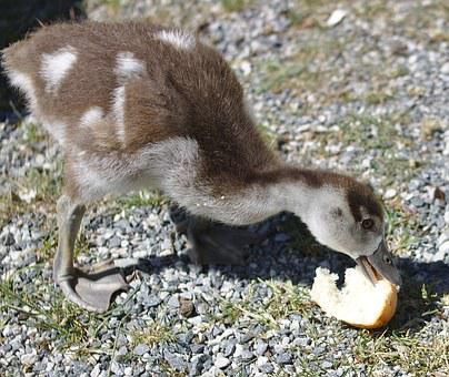 Goose, Chicks, Bird, Plumage, Bread, Feed, Food, Animal