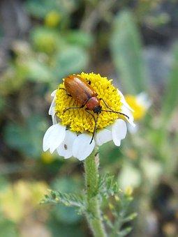 Weevil, Beetle, Diptera, Orange Beetle, Daisy, Pollen