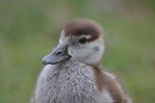 Chicks, Goose, Bird, Poultry, Head, Close, Schwimmvogel