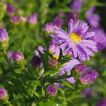 Astra, Flower, Asters, Nature, Autumn, Purple, Garden