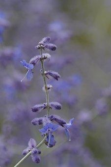 Lavender, Close, Stengel, Garden, Summer, Purple