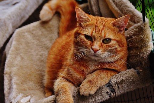 Cat, Red, Cute, Mackerel, Tiger, Sweet, Cuddly, Animal