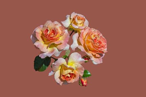 Bad Kissingen, Rose Garden, Rose Flower, Close, Roses