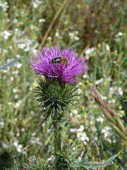 Thistle, Bee, Purple, Green, Thorns, Prickly, Scratchy
