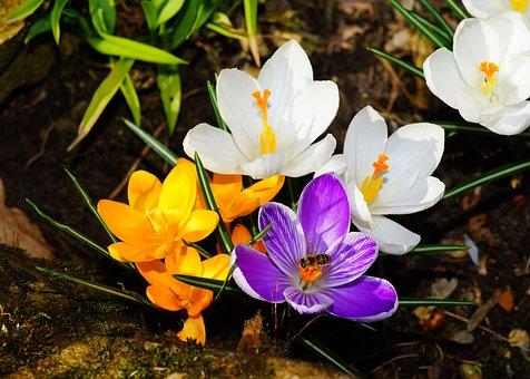 Crocus, Flowers, Spring, Spring Flowers, Bloom