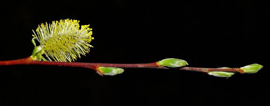Willow Catkin, Spring, Sun, Grazing Greenhouse