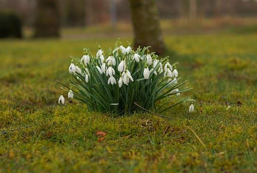 Snowdrop, Spring, Flowers, Signs Of Spring, Nature