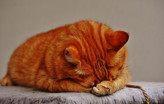 Cat, Red, Sleep, Cute, Mackerel, Tiger, Sweet, Cuddly