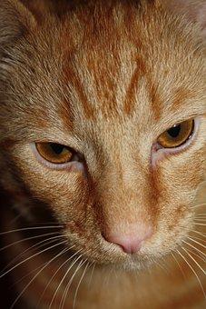 Cat, Ginger, Tabby, Pet, Cute, Animal, Lovable