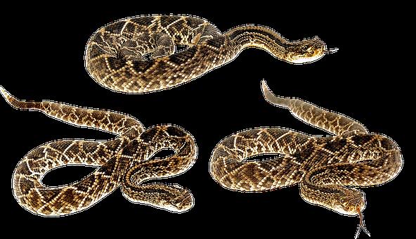 Snake, Terrarium, Bastards, Animals, Camo, Venomous