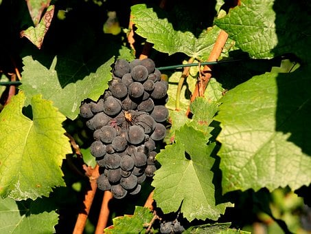 Grapes, Red Wine, Spider, Vineyard, Winegrowing, Red
