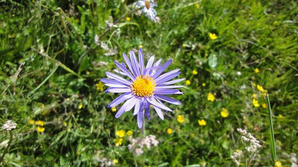 Blue Aster, Hongyuan, Waqie Township, Chrysanthemum