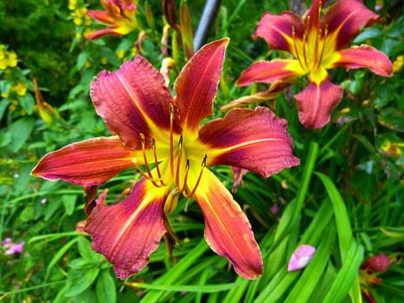 Yellow Red Daylily, Lily, Hemerocallis Fulva