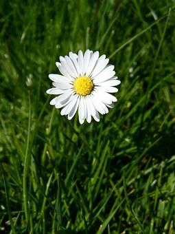 Daisy, White, Pointed Flower, Yellow, Tausendschön
