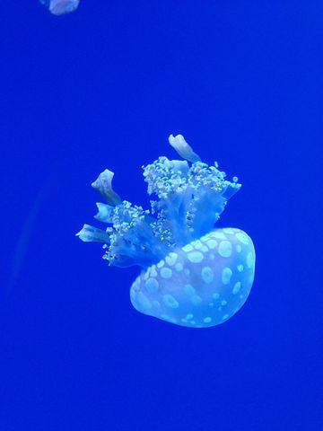 Jellyfish, Ocean, Underwater, Fish, Animal, Aquatic