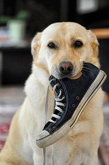 Dog, Labrador, Animal, Lola, Shoe, Canidae