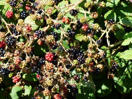 Blackberries, Rubus Sectio Rubus, Berries, Fruits