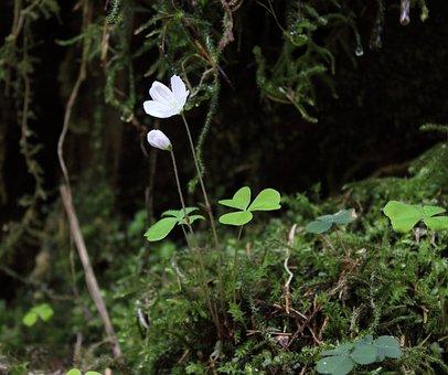 Forest Clover, Common Wood Sorrel, Blossom, Bloom