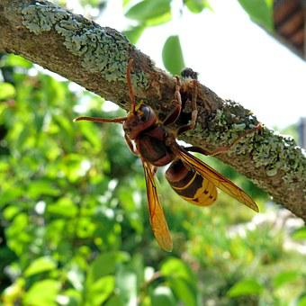 Hornet, Insects, Nature, Macro, Branches, Bark, Eat