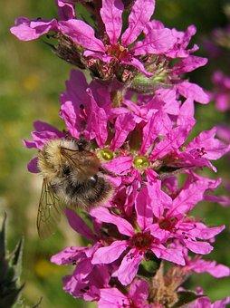 Bumblebee, Flower, Pink, Macro, Loosestrife Common