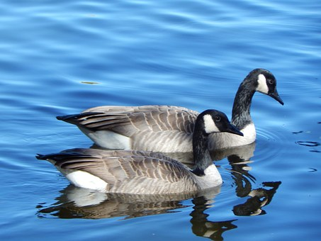 Canada Goose, Geese, Canada, Waterfowl, Goose, Water