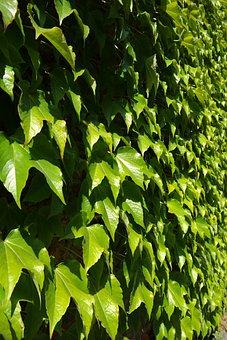 Leaves, Greening, Wall, Fouling, Green, Dreispitz Vine