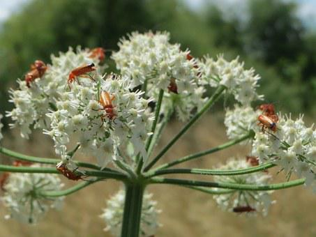 Heracleum Sphondylium, Eltrot, Hogweed, Common Hogweed