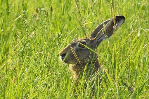 Hare, Hidden, Meadow, Grass, Green, Nature, Animal