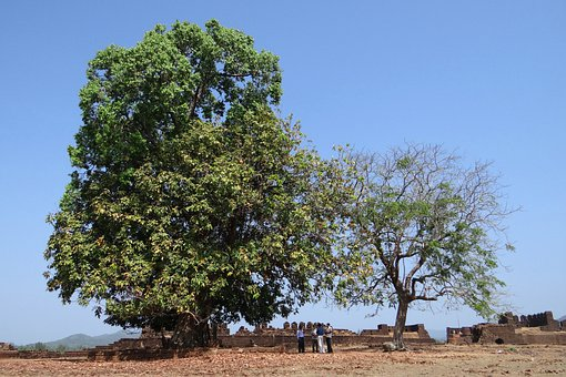 Sacred Tree, Shrine, Mirjan Fort, India, Tree, Organic