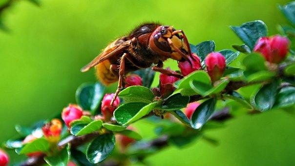 Insect, European Hornet, Nectar