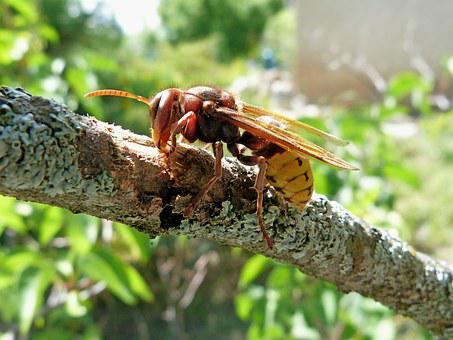 Hornet, Insects, Nature, Macro, Bark, Branches, Food