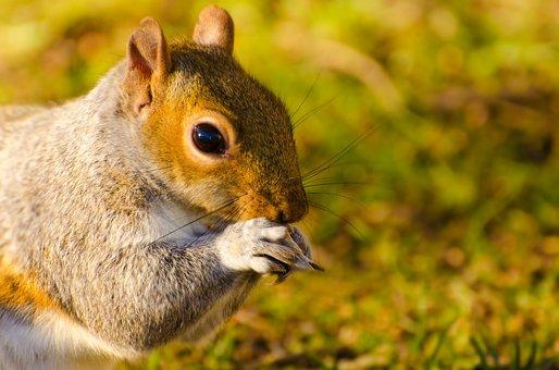 Animal, Squirrel, Mammal, Paw, Tail, Close-up, Bushy