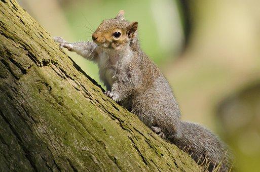 Squirrel, Tree, Mammal, Paw, Tail, Close-up, Bushy, Rat