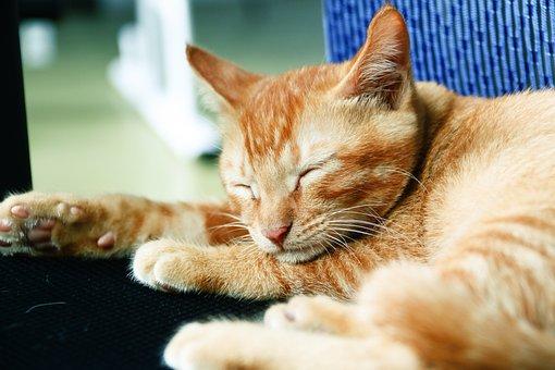 Cat, Meng Chong, Animal, Sleep