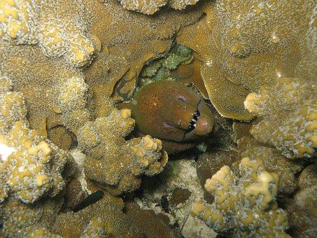Muraena Helena, Fish, Animals, Sea, Nature