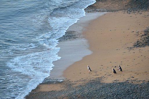 New Zealand, Oamaru, Otago, Yellow Eyed Penguin, Colony