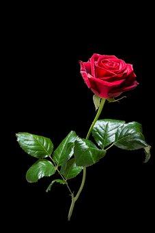 Rose, Flower, Blossom, Bloom, Red, Rose Bloom, Summer