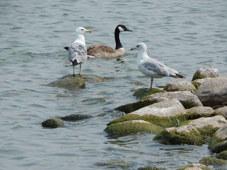 Sea Gulls, Canada Goose, Goose, Gulls, Birds, Waterfowl