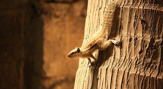 Squirrel, Striped, Stripes, Coconut, Tree, Climb, Down