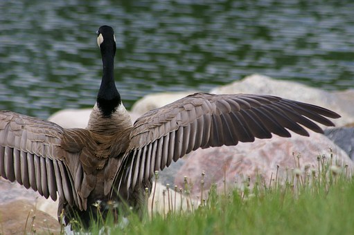 Goose, Canada, Water, Bird, Animal, Fauna, Pond, Nature