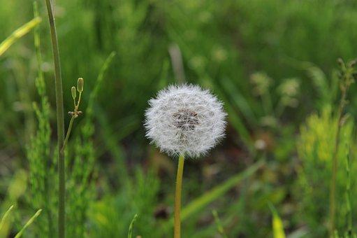 Dandelion, Mr Hall, Spring, Flowers, White, Nature