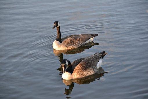 Goose, Geese, Bird, Water, Birds, Wildlife Photography