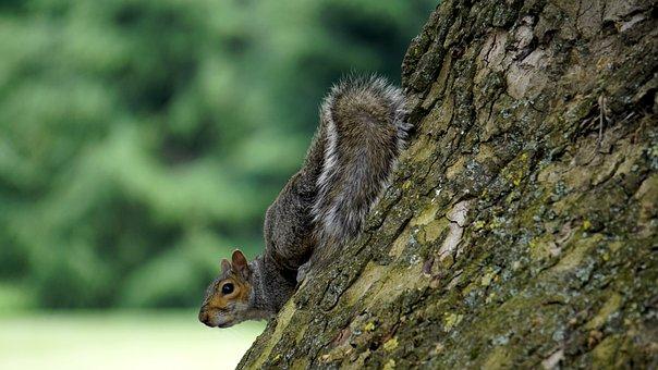 Grey Squirrel, Wood, Animal, Squirrel, Fur, Tail, Grey