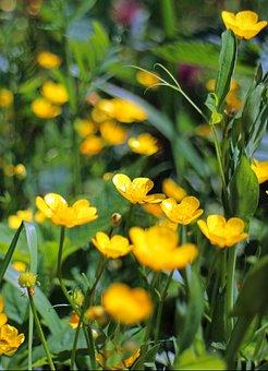 Caltha Palustris, Dotterblume, Flower, Yellow