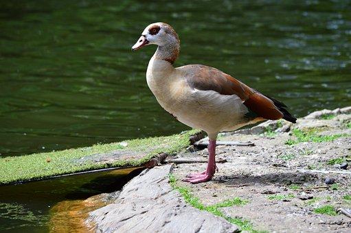 Goose, Aegyptiaca, Egyptian, Bird, Alopochen