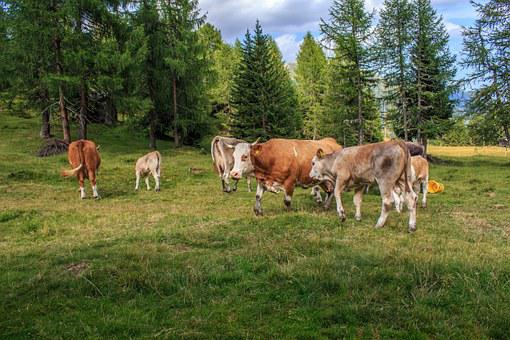 Cows, Cow Herd, Alm, Beef, Dairy Cows, Cattle, Animals
