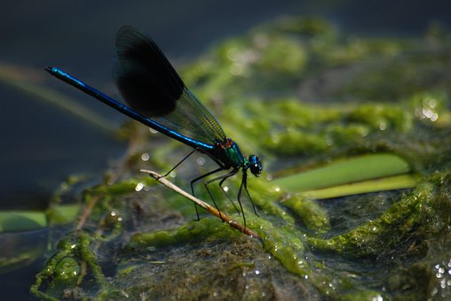 Damsel, Fly, Banded Demoiselle, Calopteryx Splendens