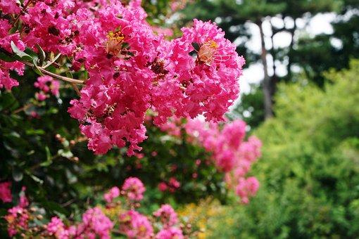 Lagerstroemia Indica, Crape Myrtle Trees