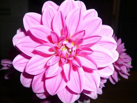 Flower, Flowers, Rosa, Dalia, Dahlias, Color, Nature